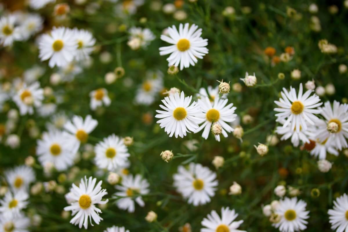 daisy-like false aster flowers