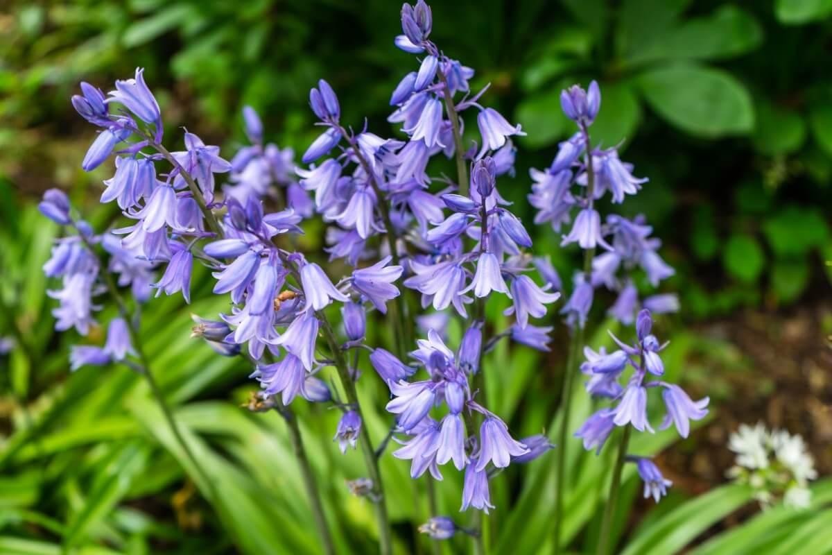 blossoms of blue bellflowers
