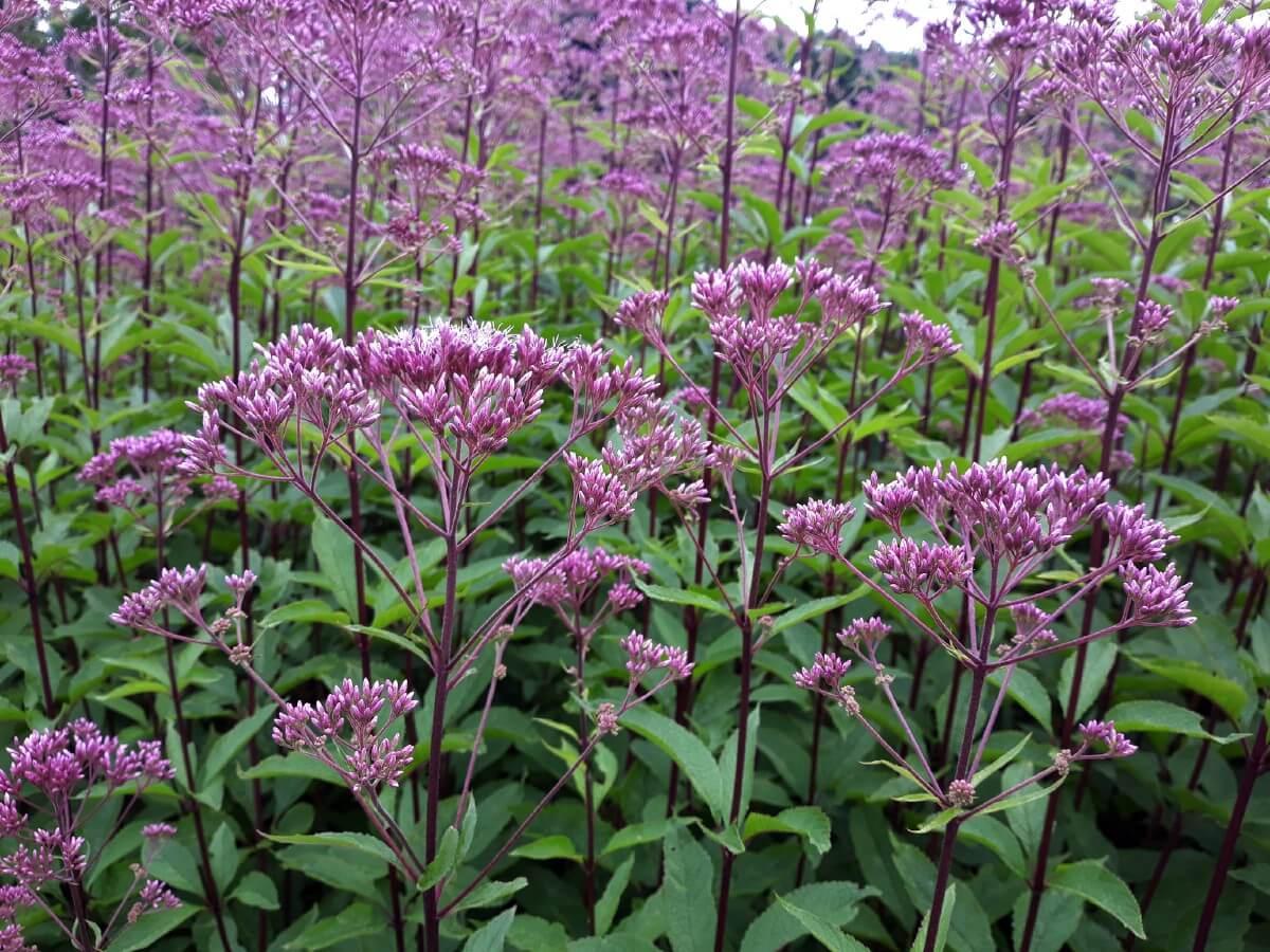 tall purple Joe Pye Weed flowers