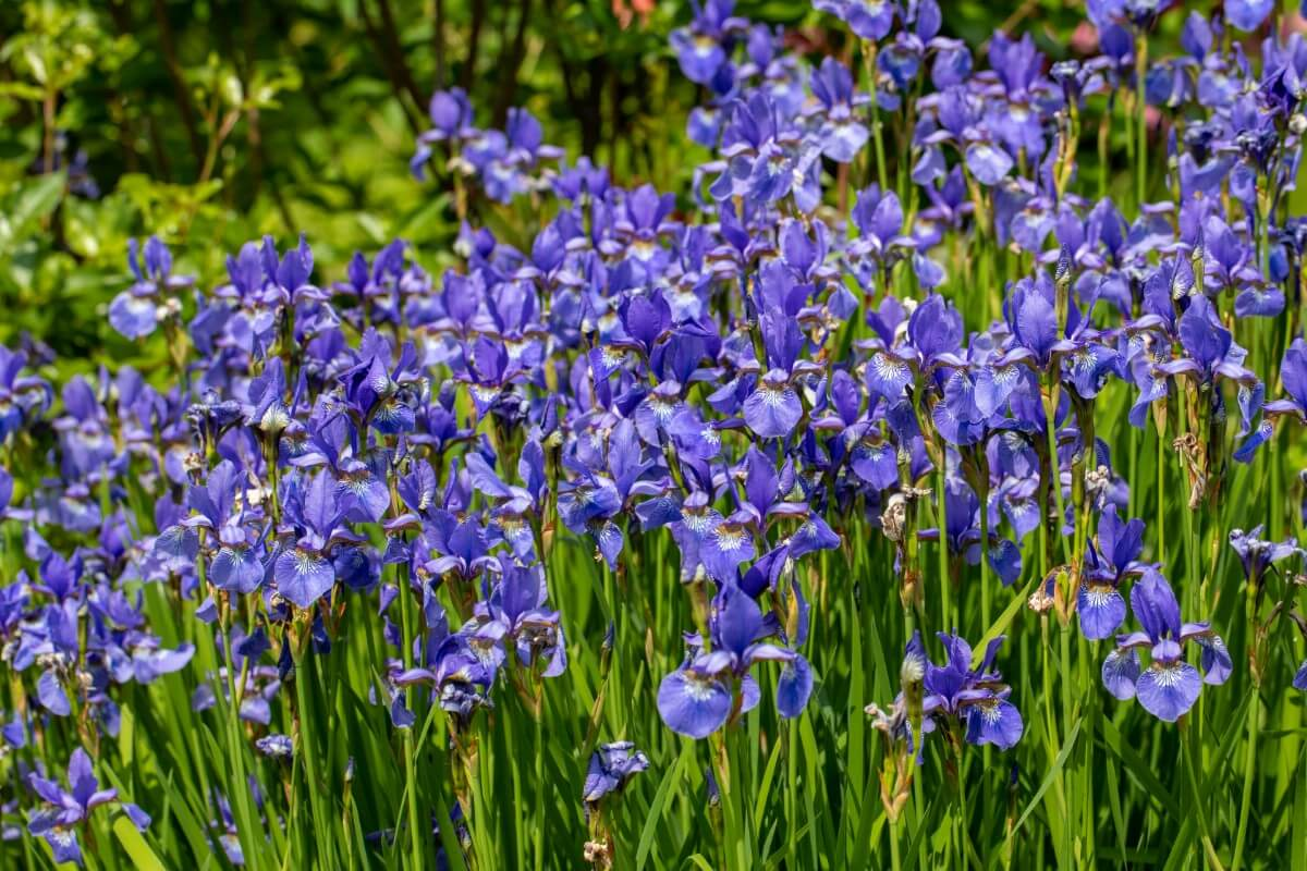 large planting of northern blue flag or blue iris flowers
