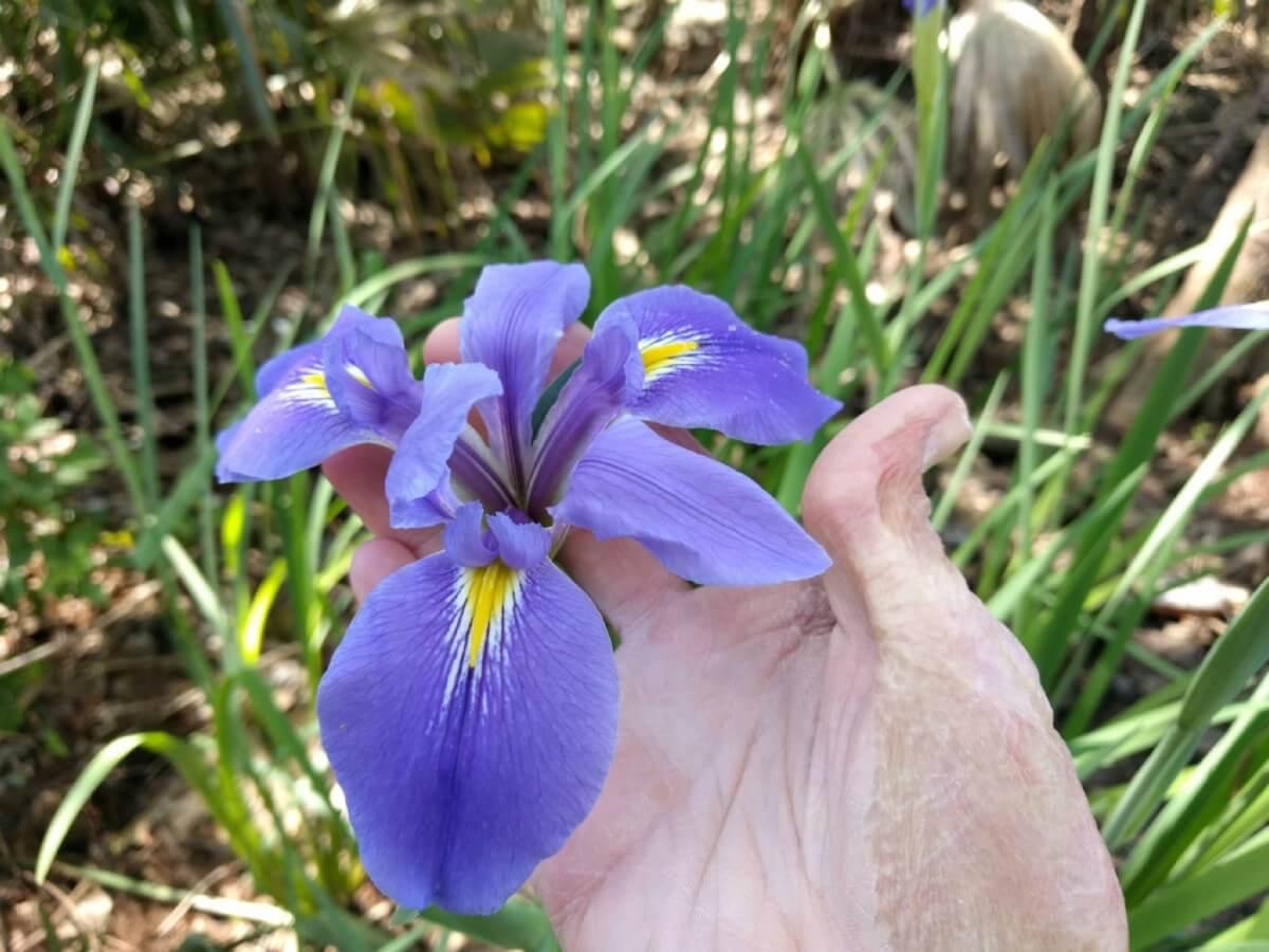 large blossom of giant blue iris