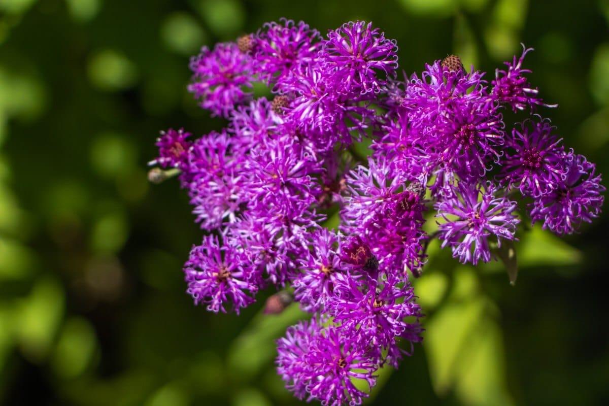 round purple flowers on ironweed plant