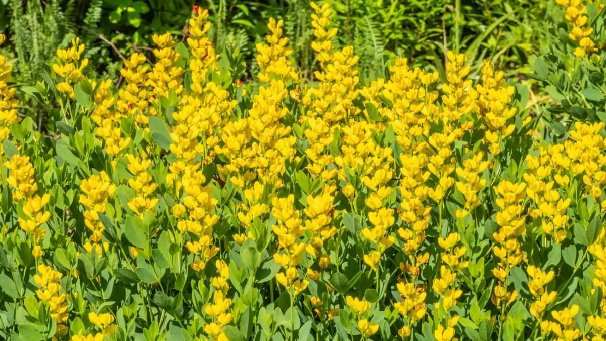 Wild Screamin' Yellow False Indigo garden flowers