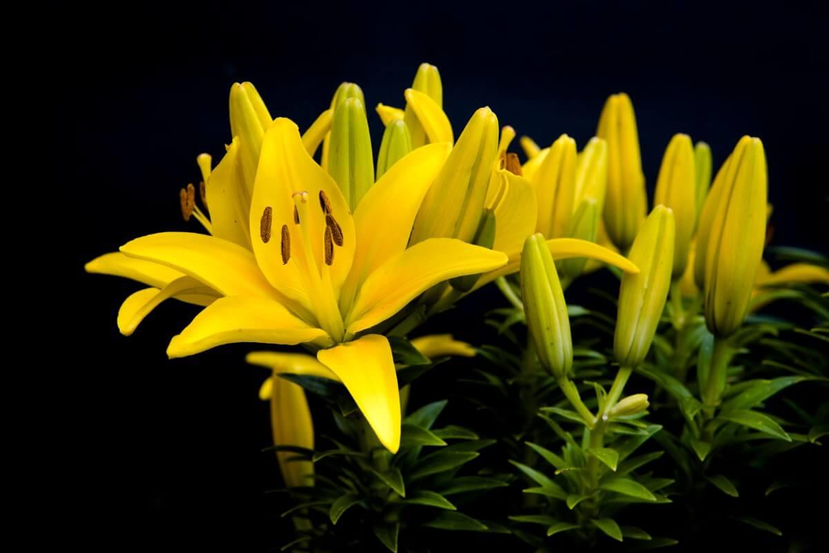 Yellow daylily flowers.