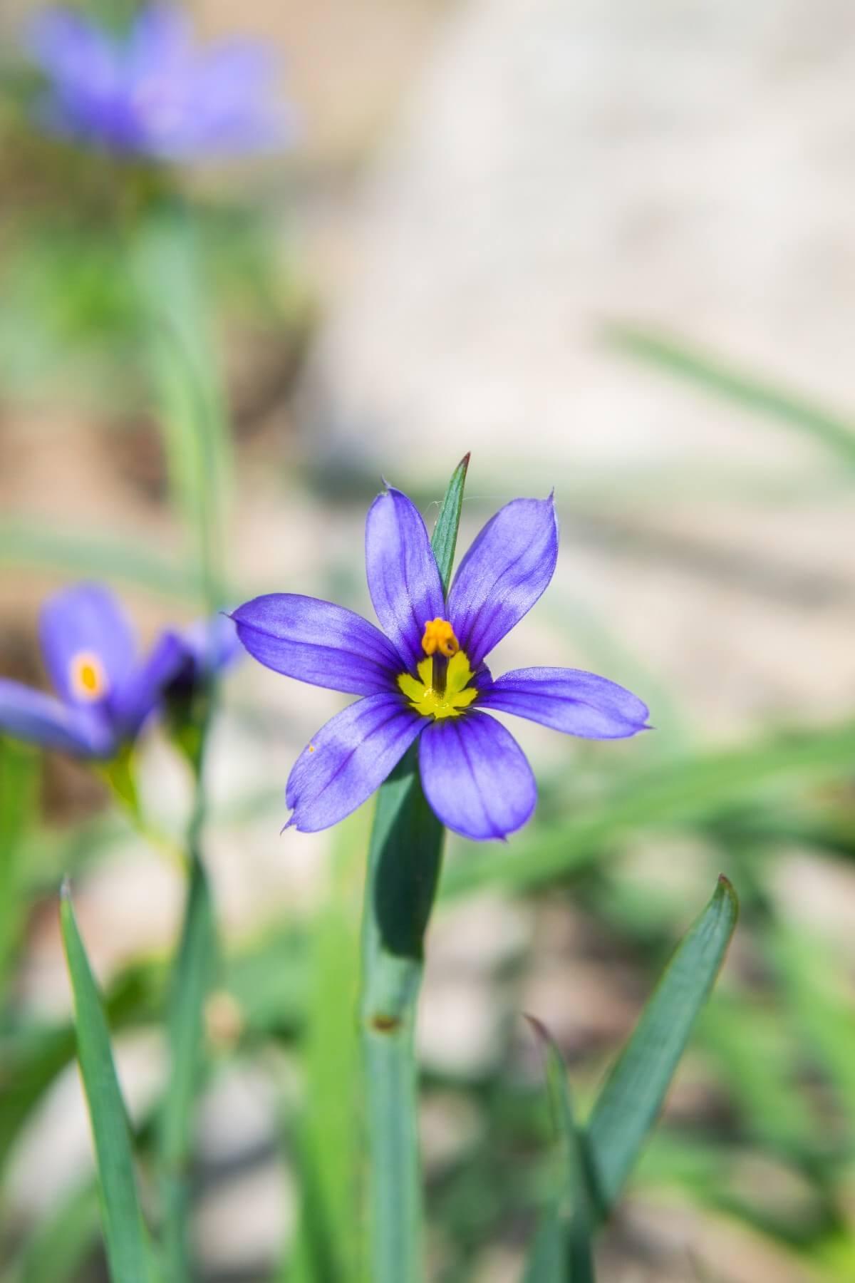 blue eyed grass blossom