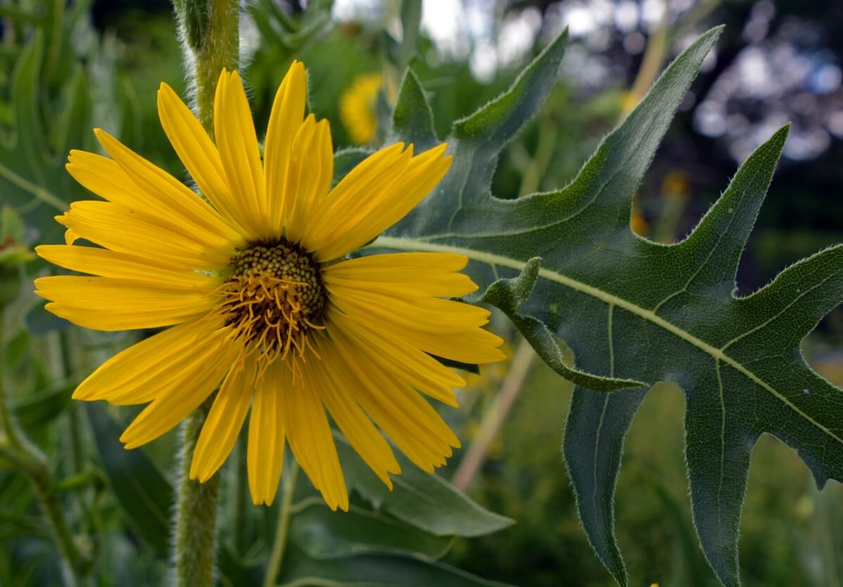 Compass Plant blooms like sunflower