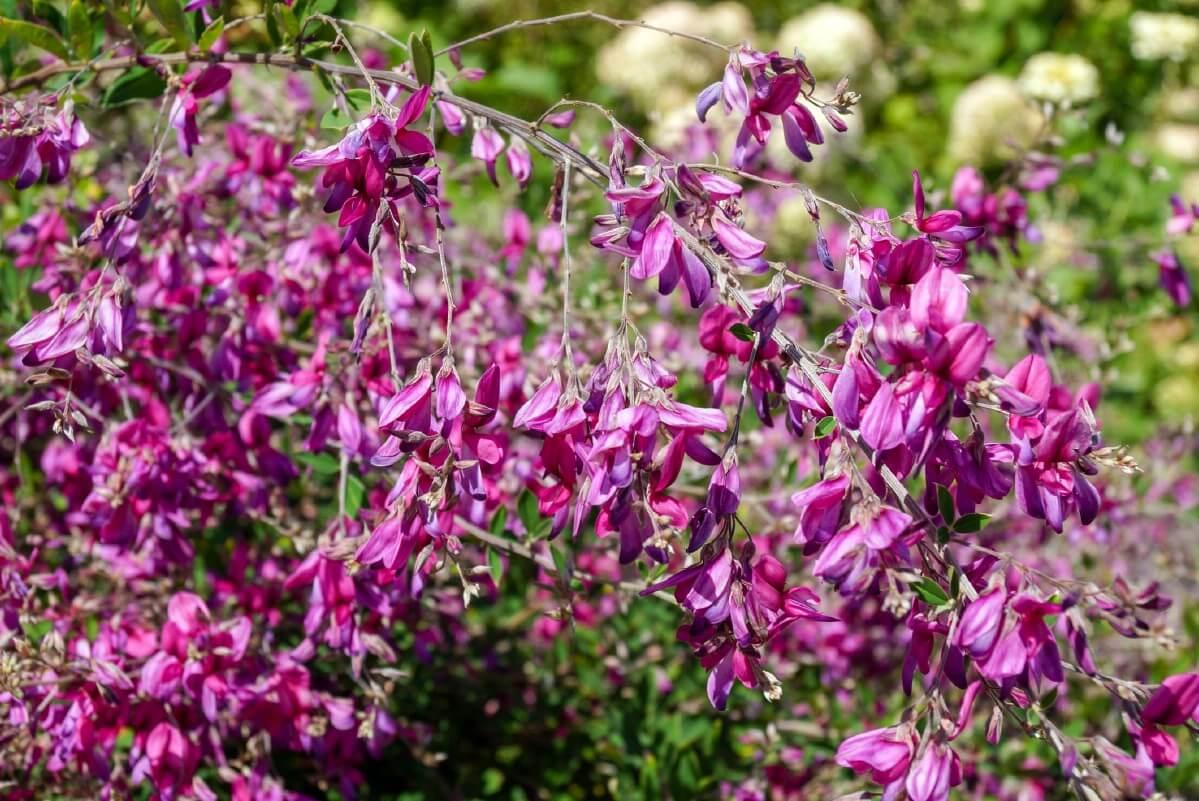 purple flowers on bush clover plant