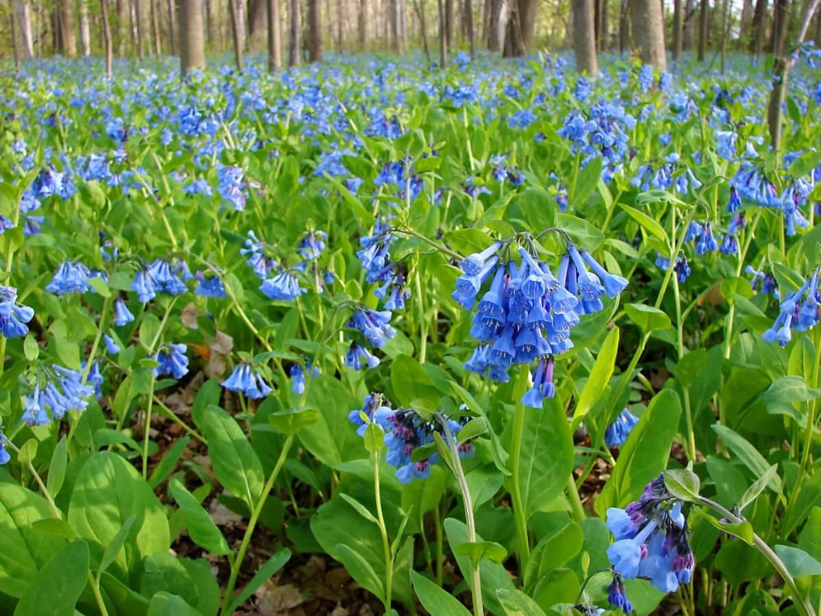 field of Virginia Bluebells