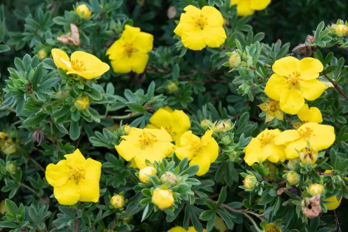 Bush Cinquefoil flowers