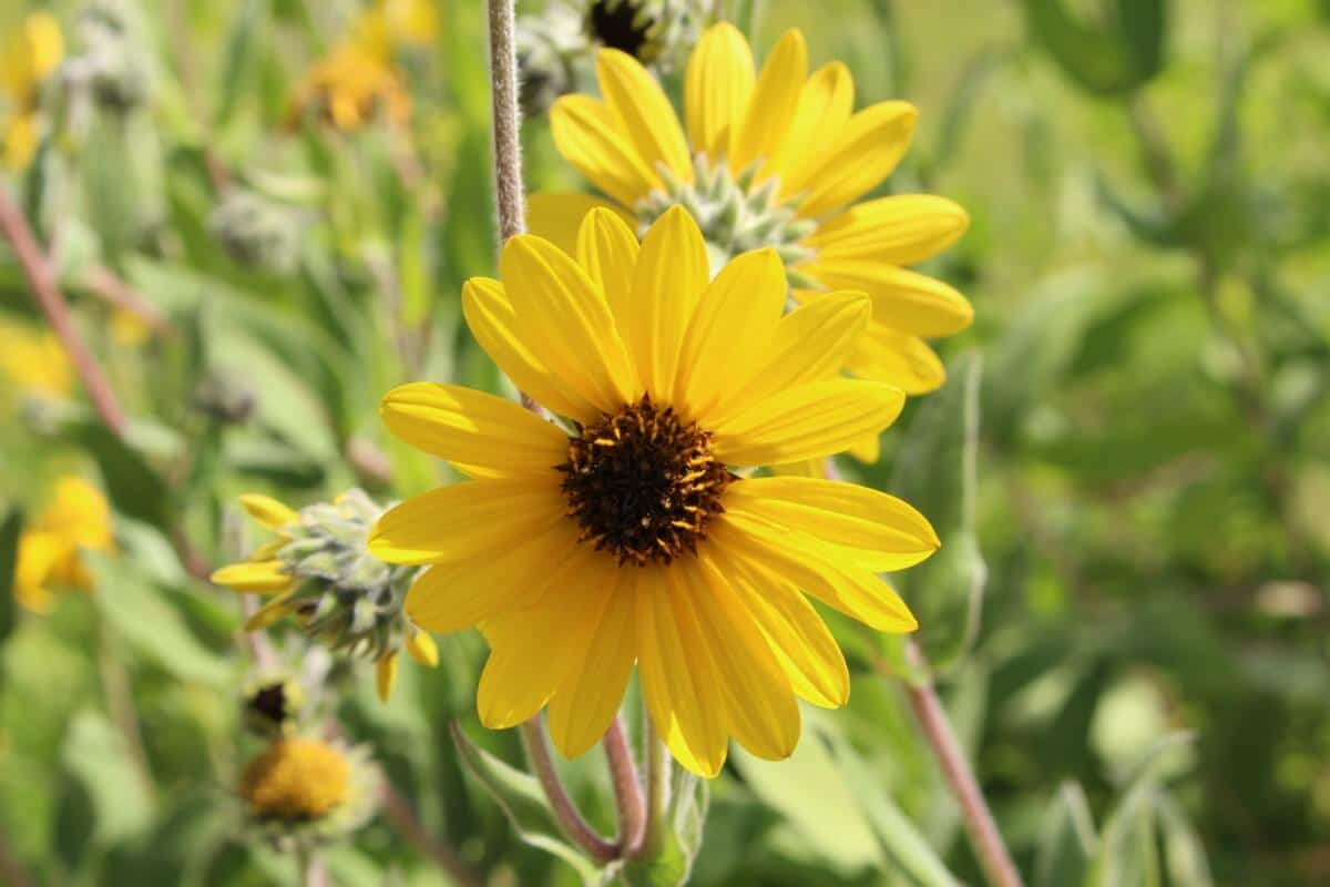 perennial Ashy Sunflower blooms