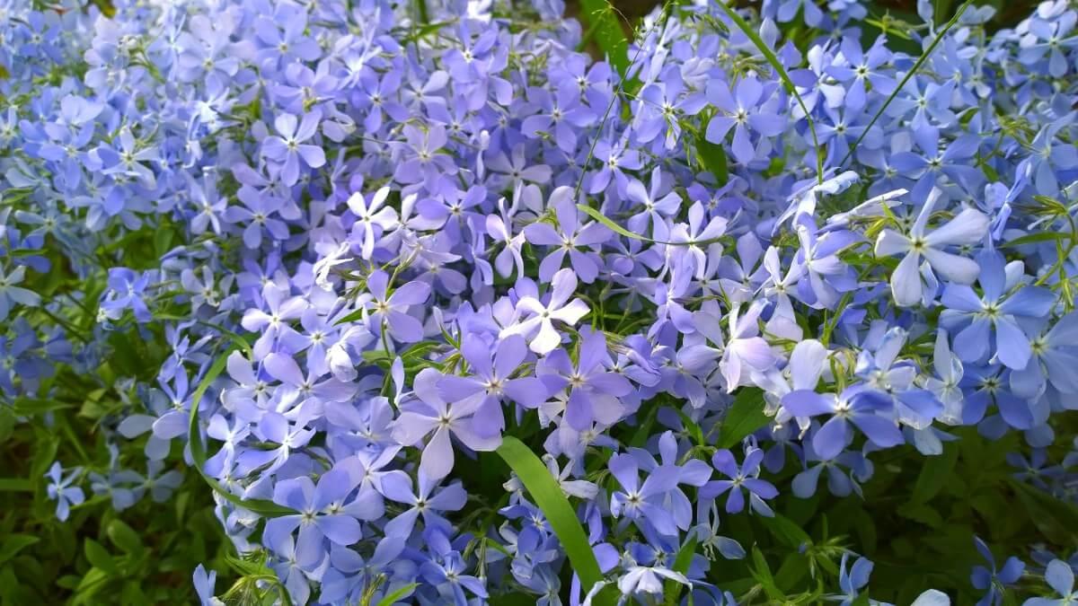 mass of blue flowering creeping phlox