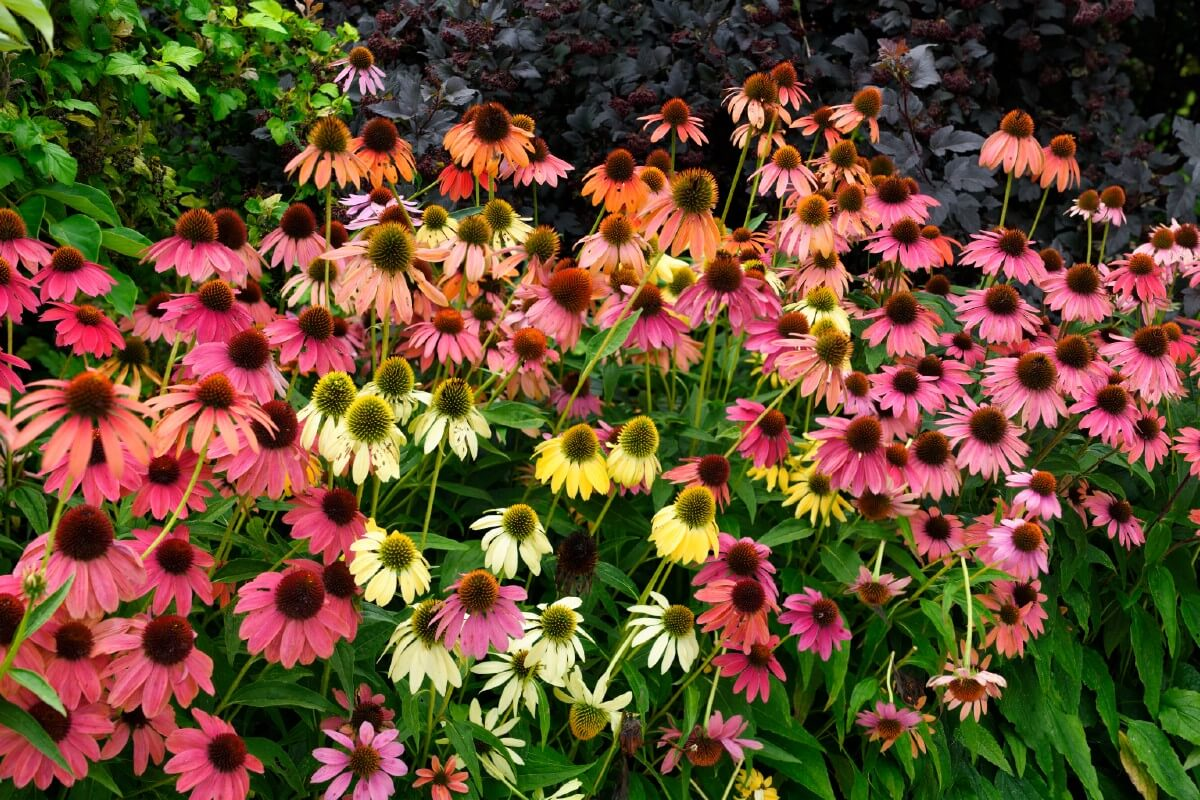 multicolored patch of coneflowers in pink, yellow, purple, and orange