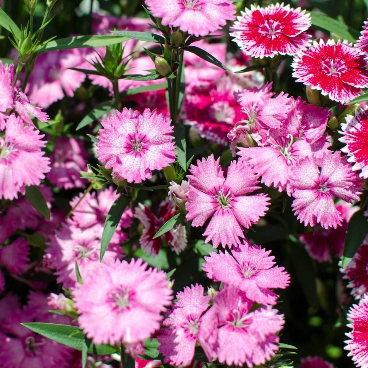 Perennial Pinks