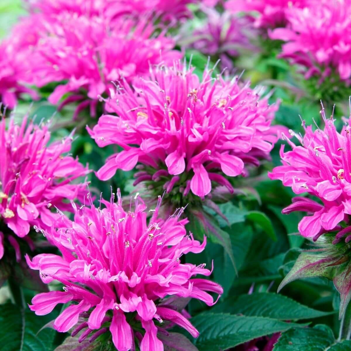 Bee Balm flowers.