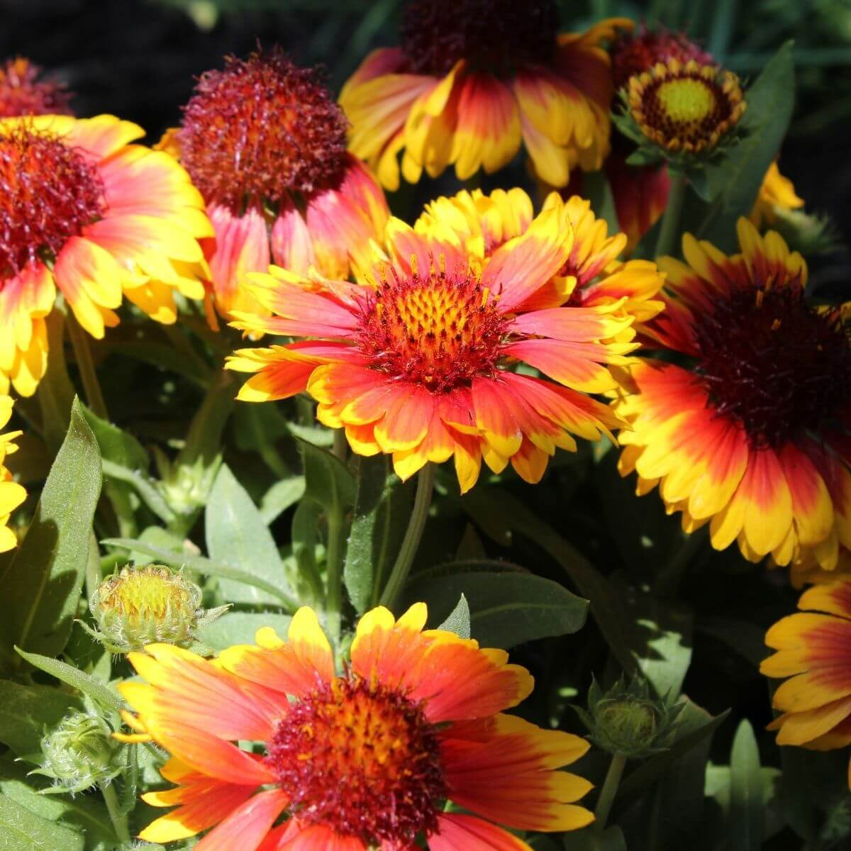 Blanket Flowers in the garden.