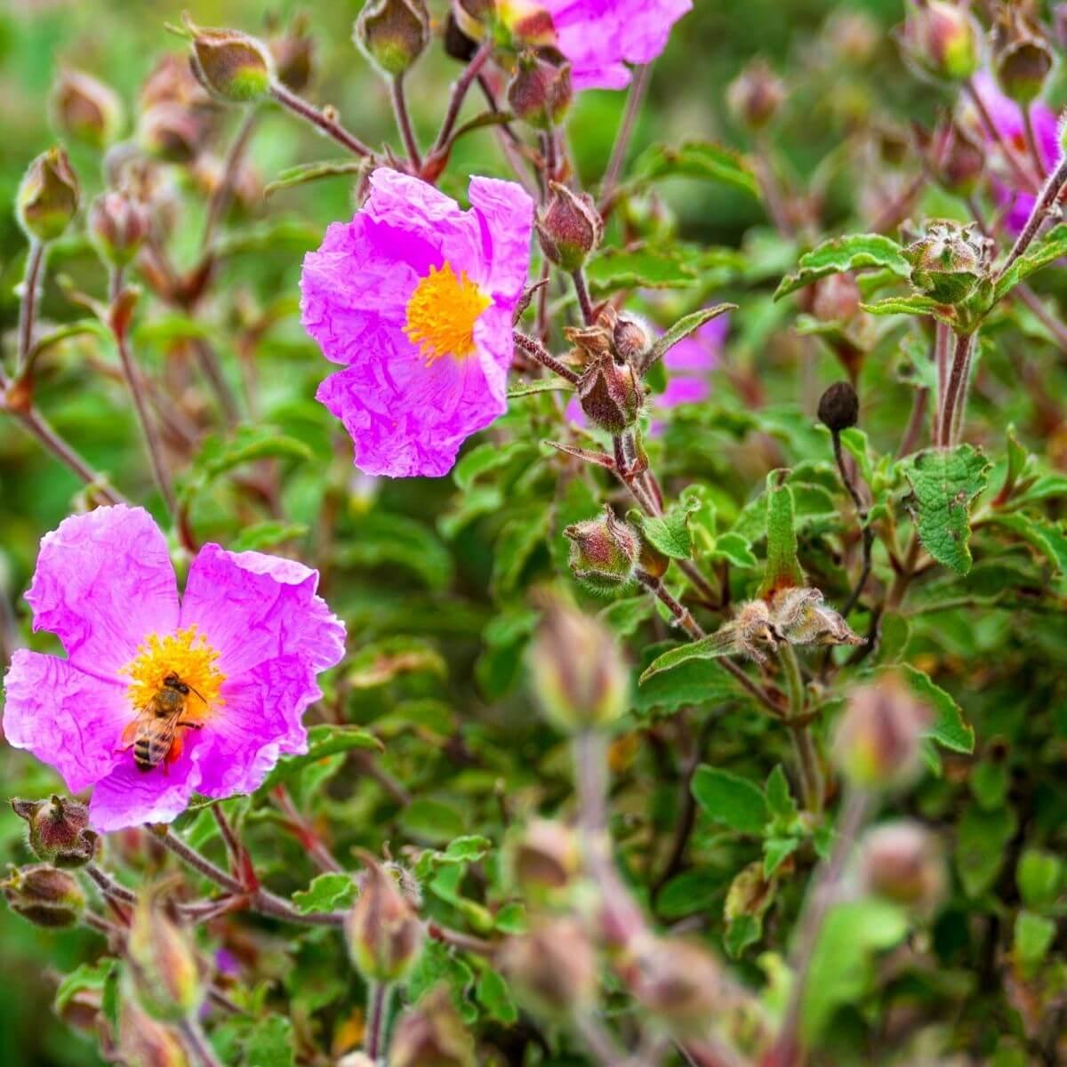 Flowering Rock Roses