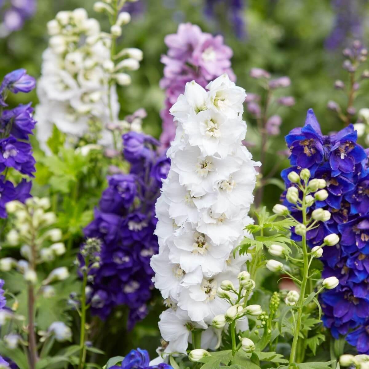 Colorful Delphiniums flowering.