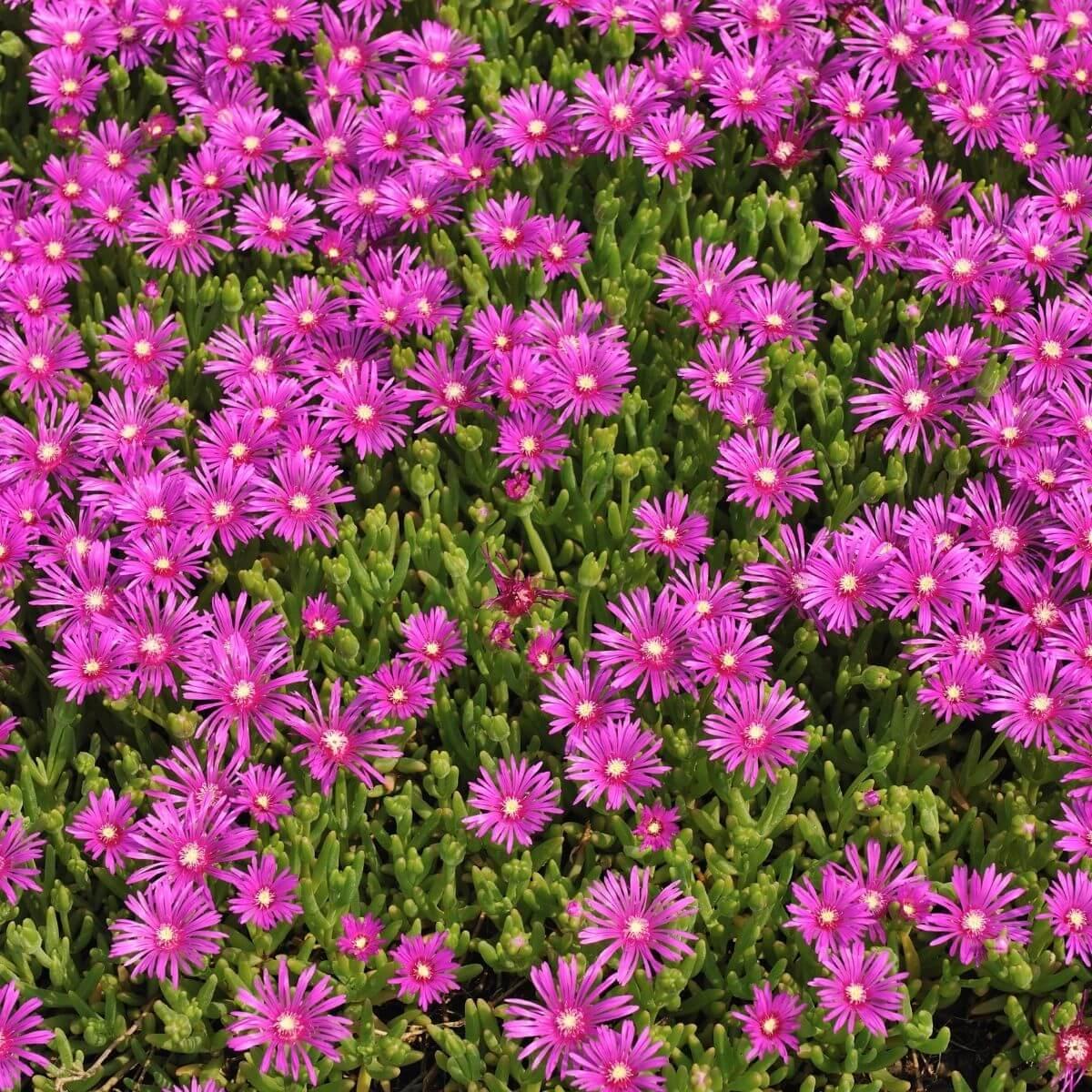 Flowering Ice Plants