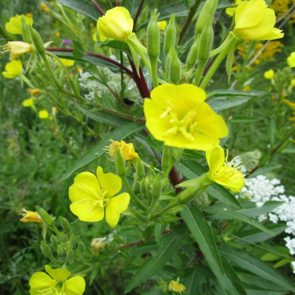 Yellow Evening Primrose in the garden.