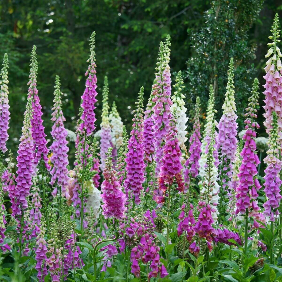 Colorful Foxgloves flowering in the garden.