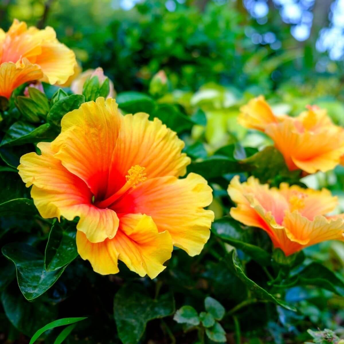 Orange Hibiscus flowers.