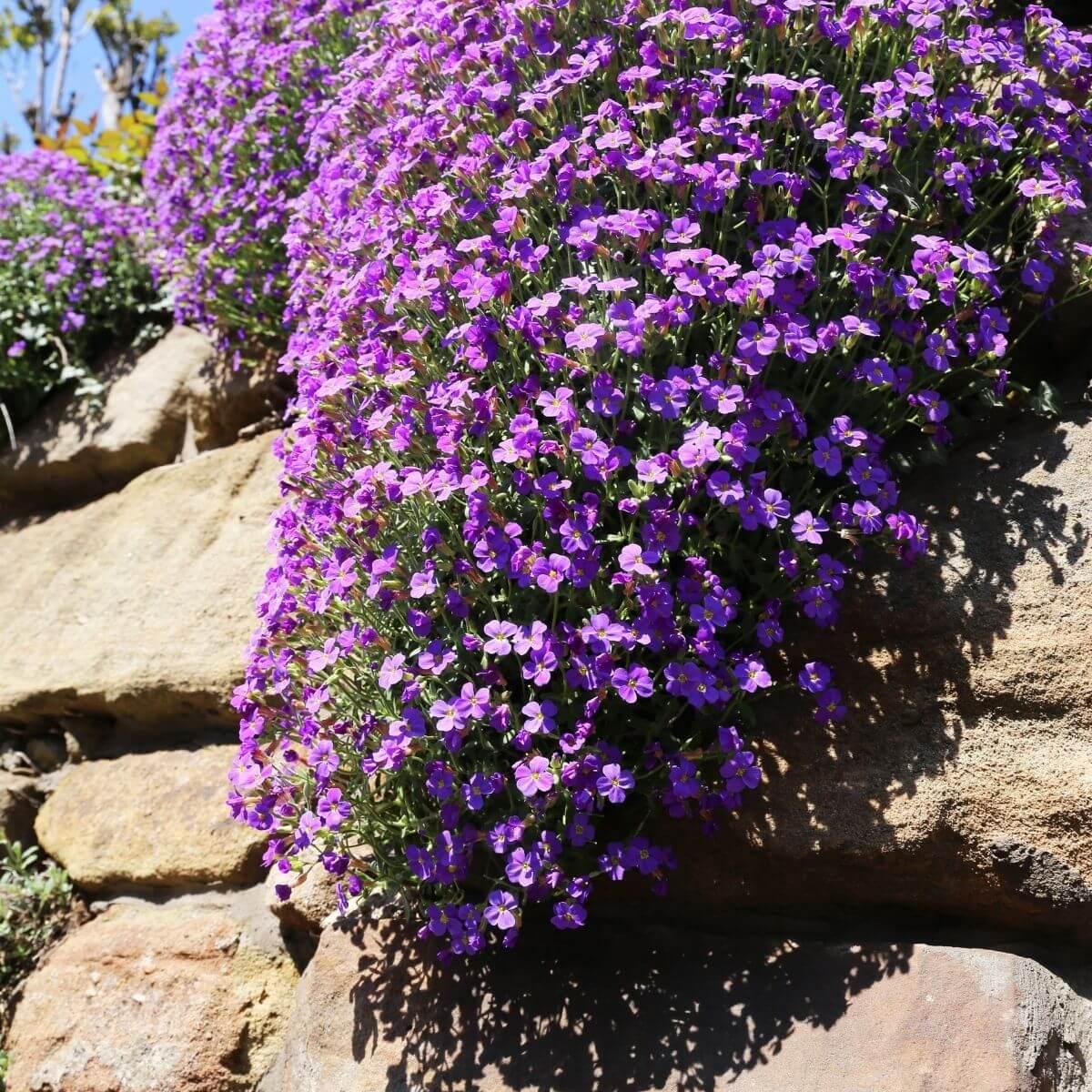 Rock Cress flowering in a rock garden.