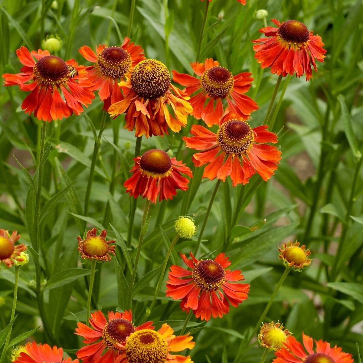 Sneezeweed flowering.