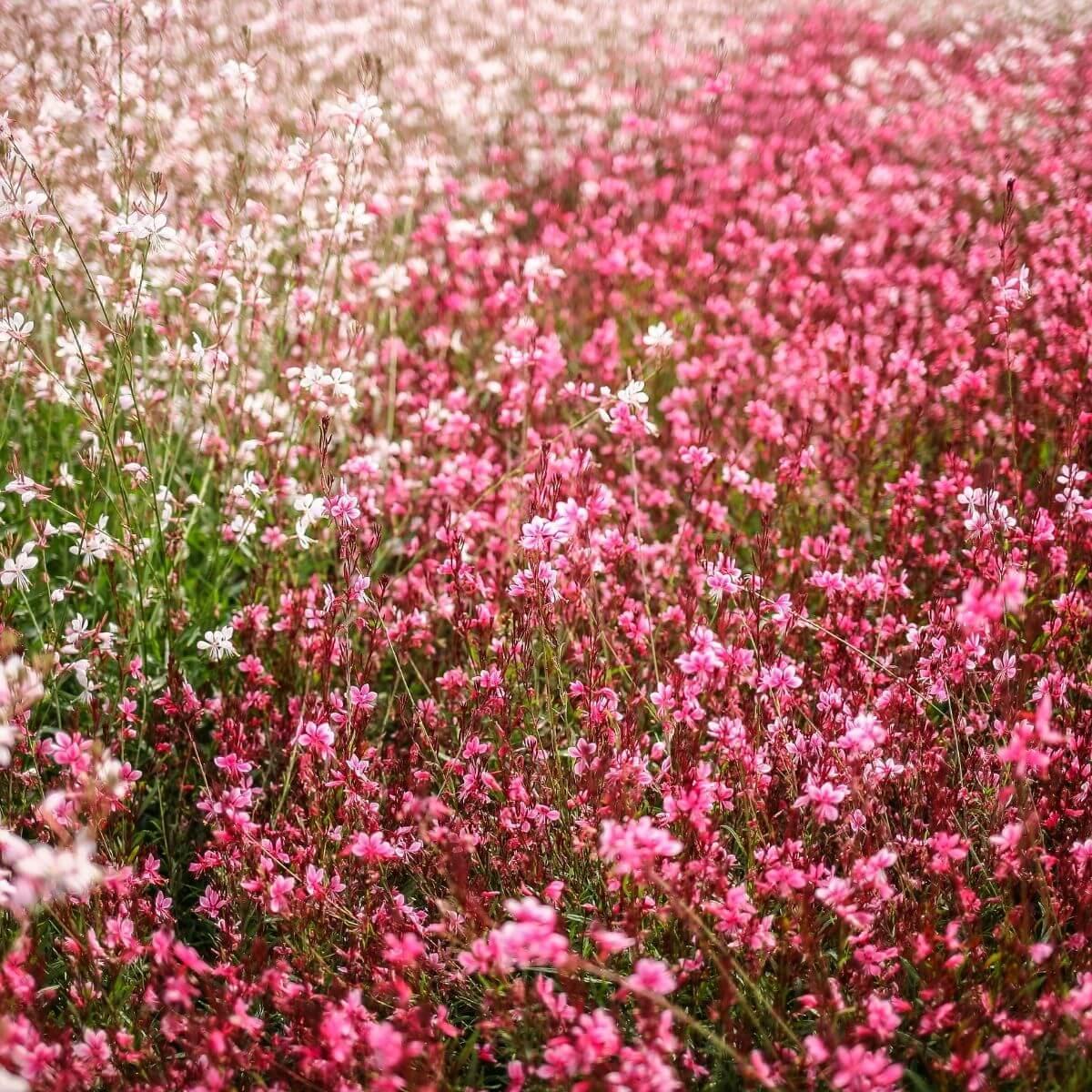 Gaura flower field.