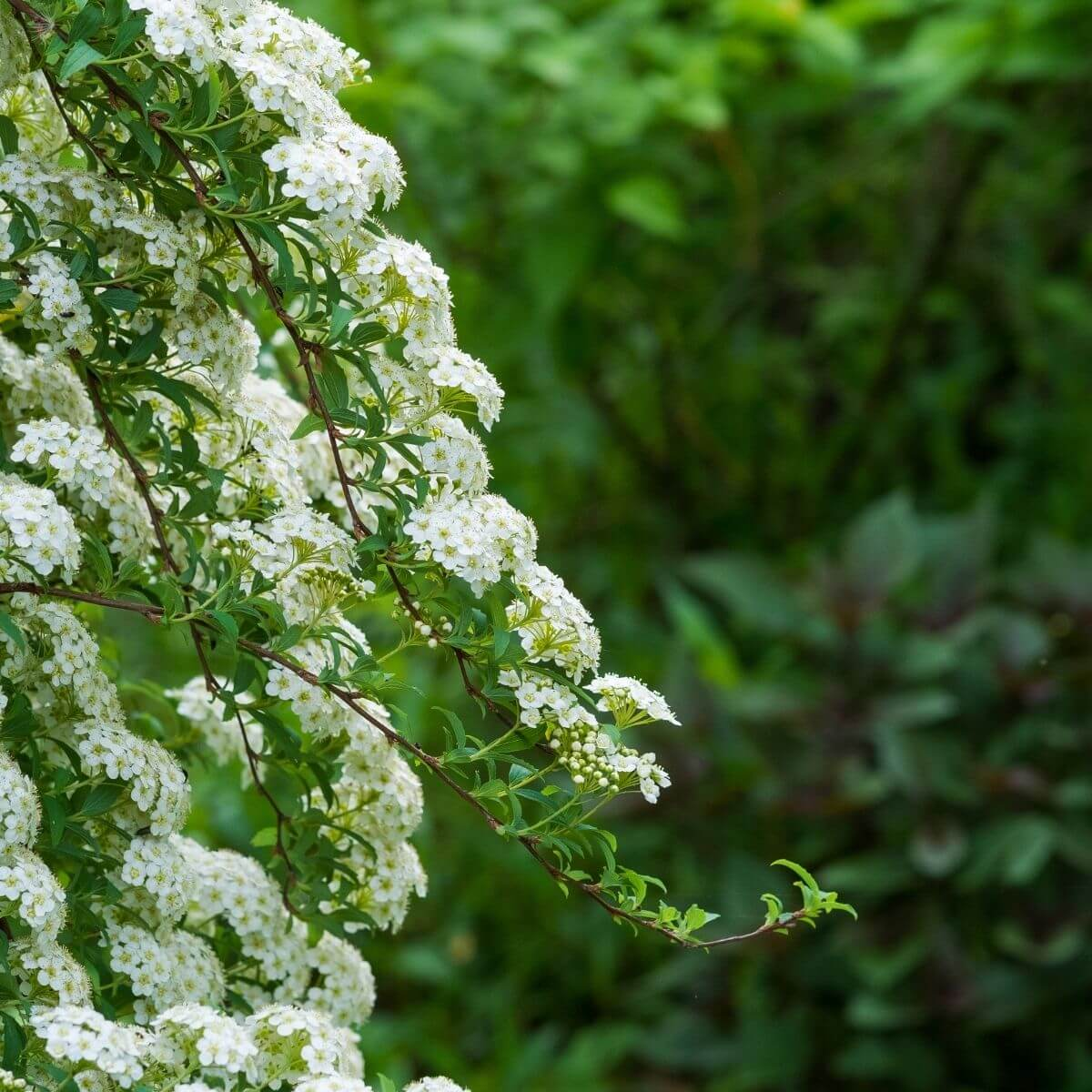 Meadowsweet flowering branches.