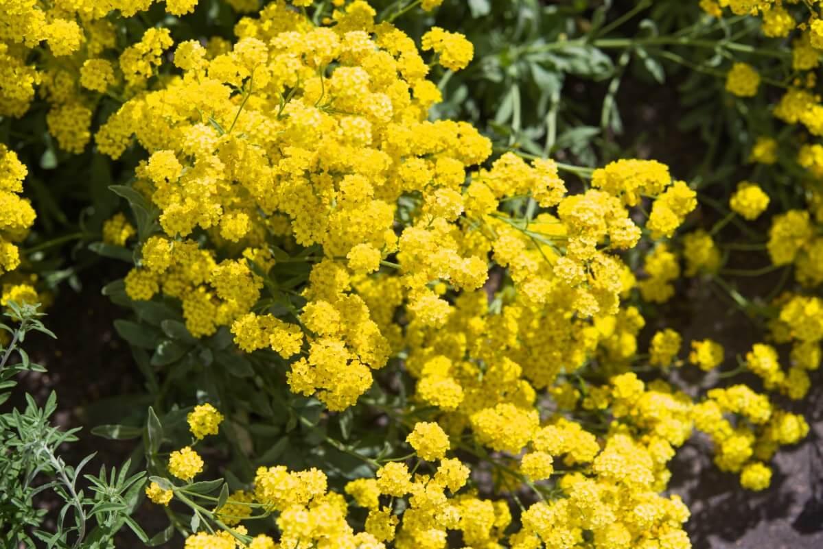 basket of gold flowering perennial