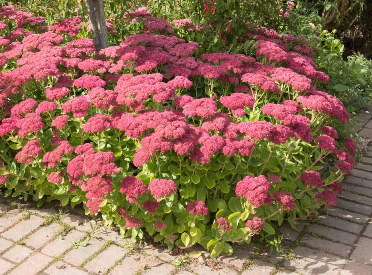 Stonecrop or autumn joy corner bush in the garden