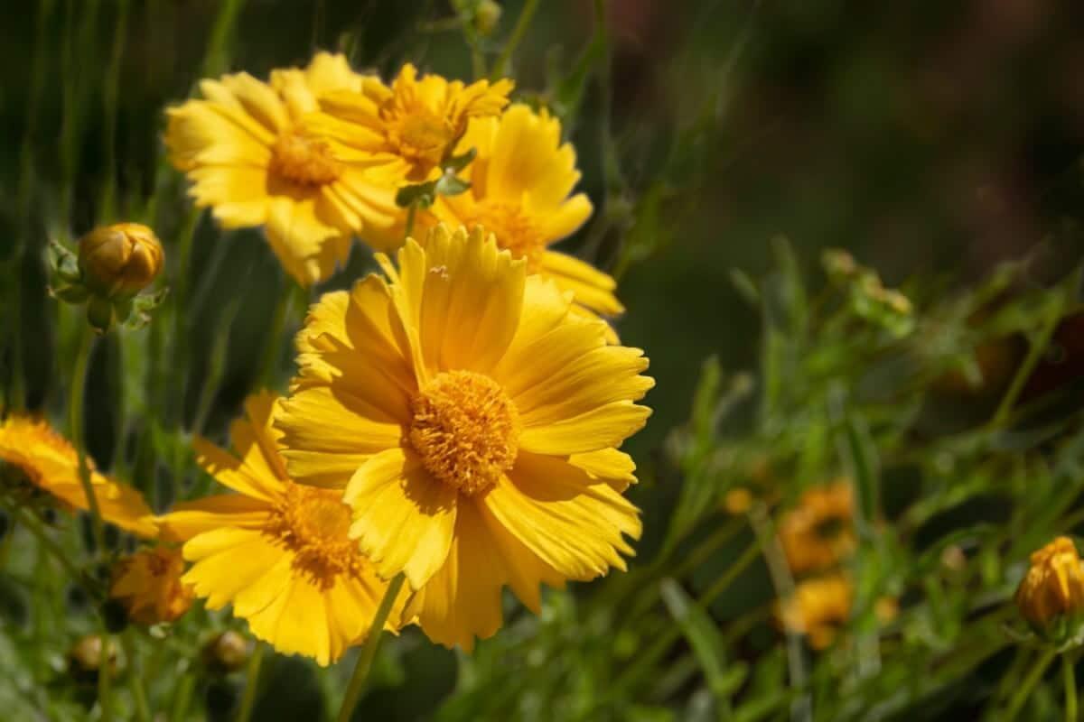 bright yellow desert marigold bloom