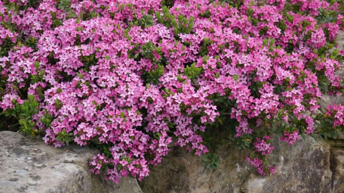 purple flower evergreen