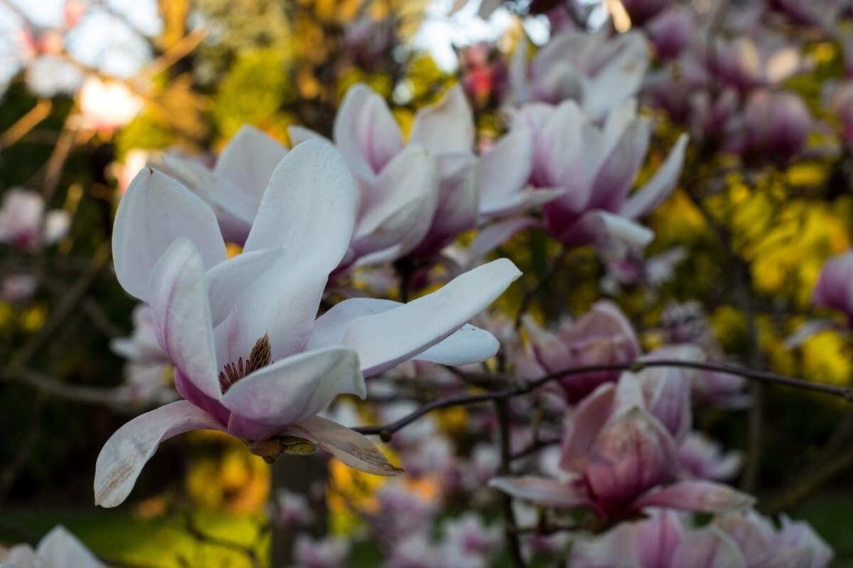 blooming sweetbay magnolia tree