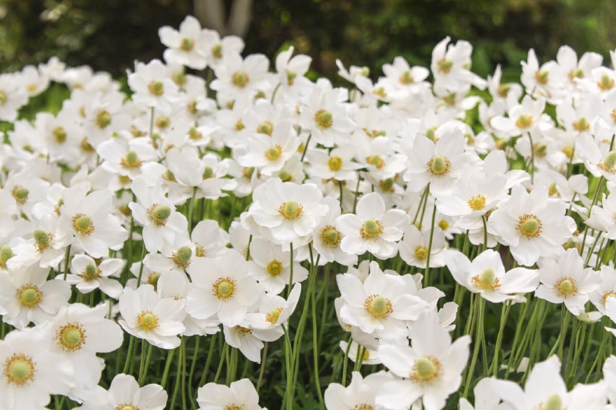 Japanese Anemone close up flowers