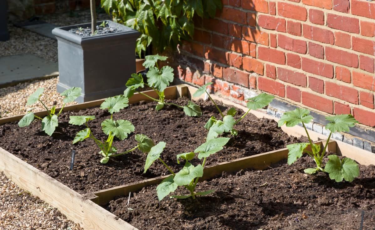 WHere to grow zucchinis