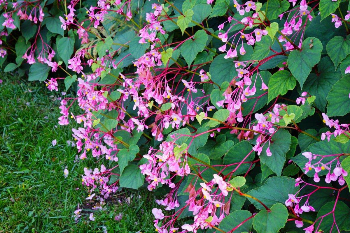 Hardy Begonias flowers close up