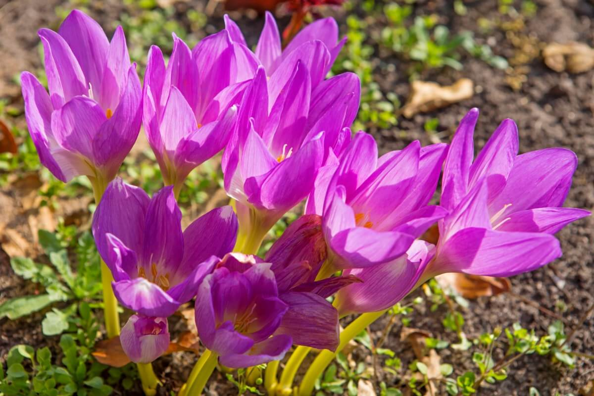 Pink Autumn Crocus flowers