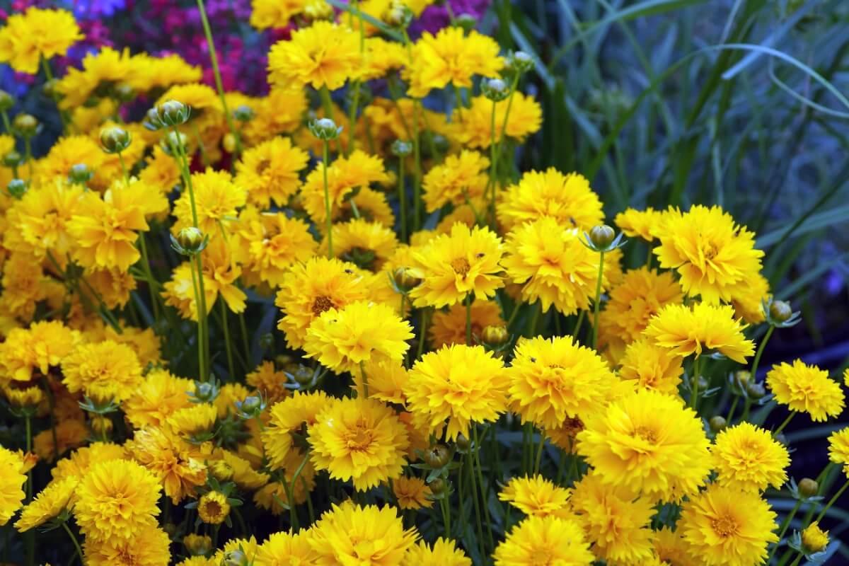 Yellow Tickseed flowers
