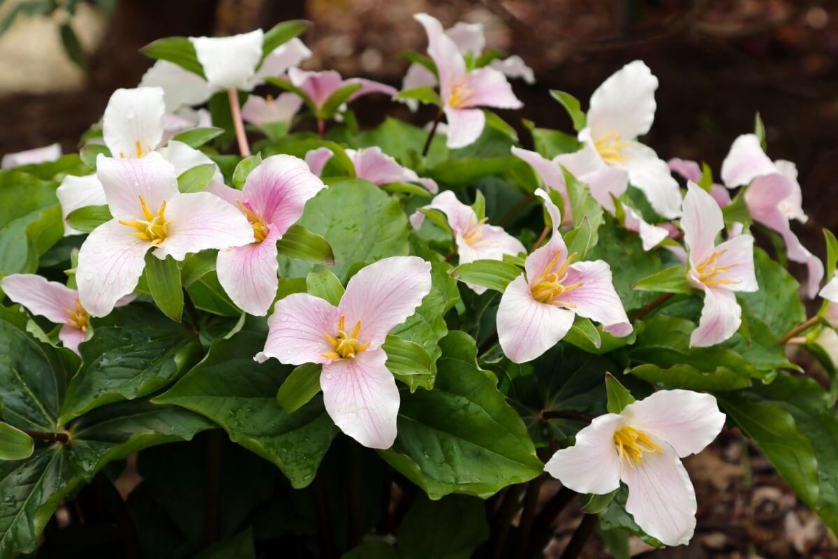 bunch of trillium blossoms