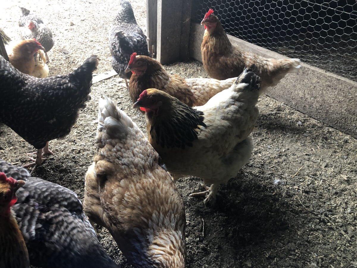 chickens in sunlight