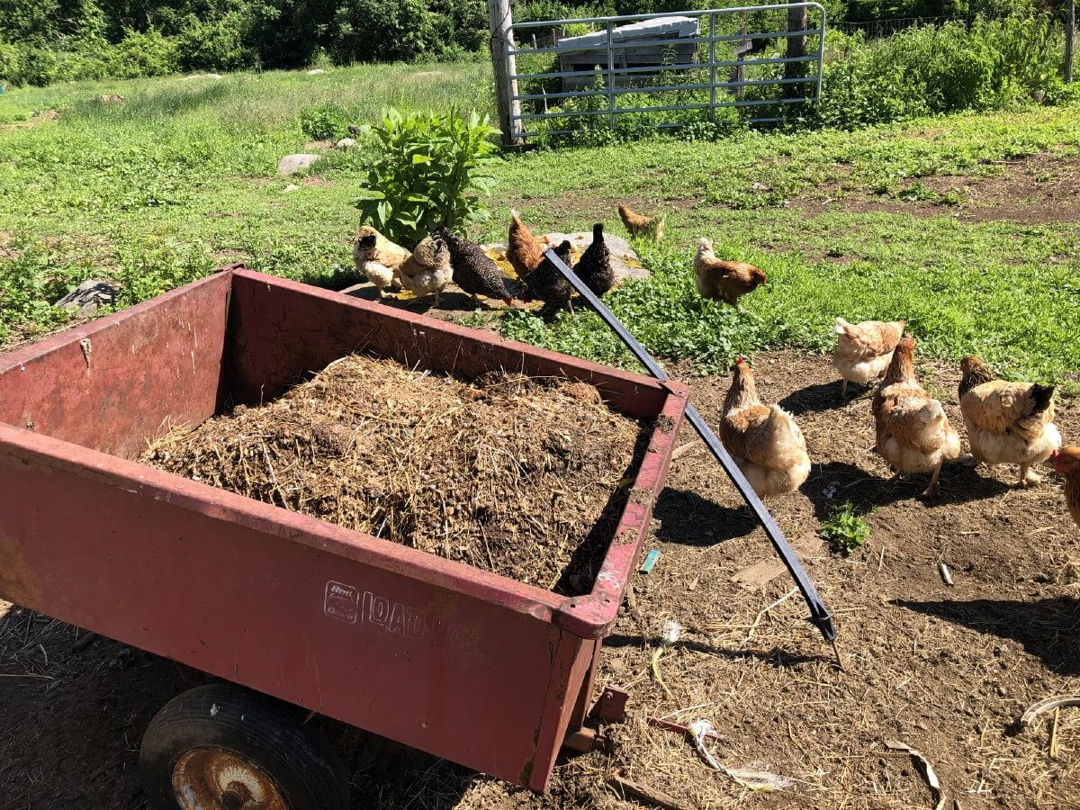 wagon loaded with chicken manure with chicken in background