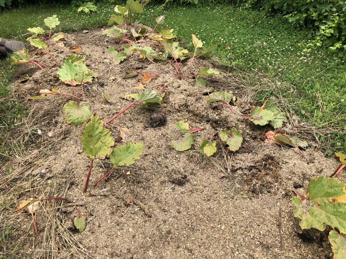 chicken manure applied to rhubarb plants