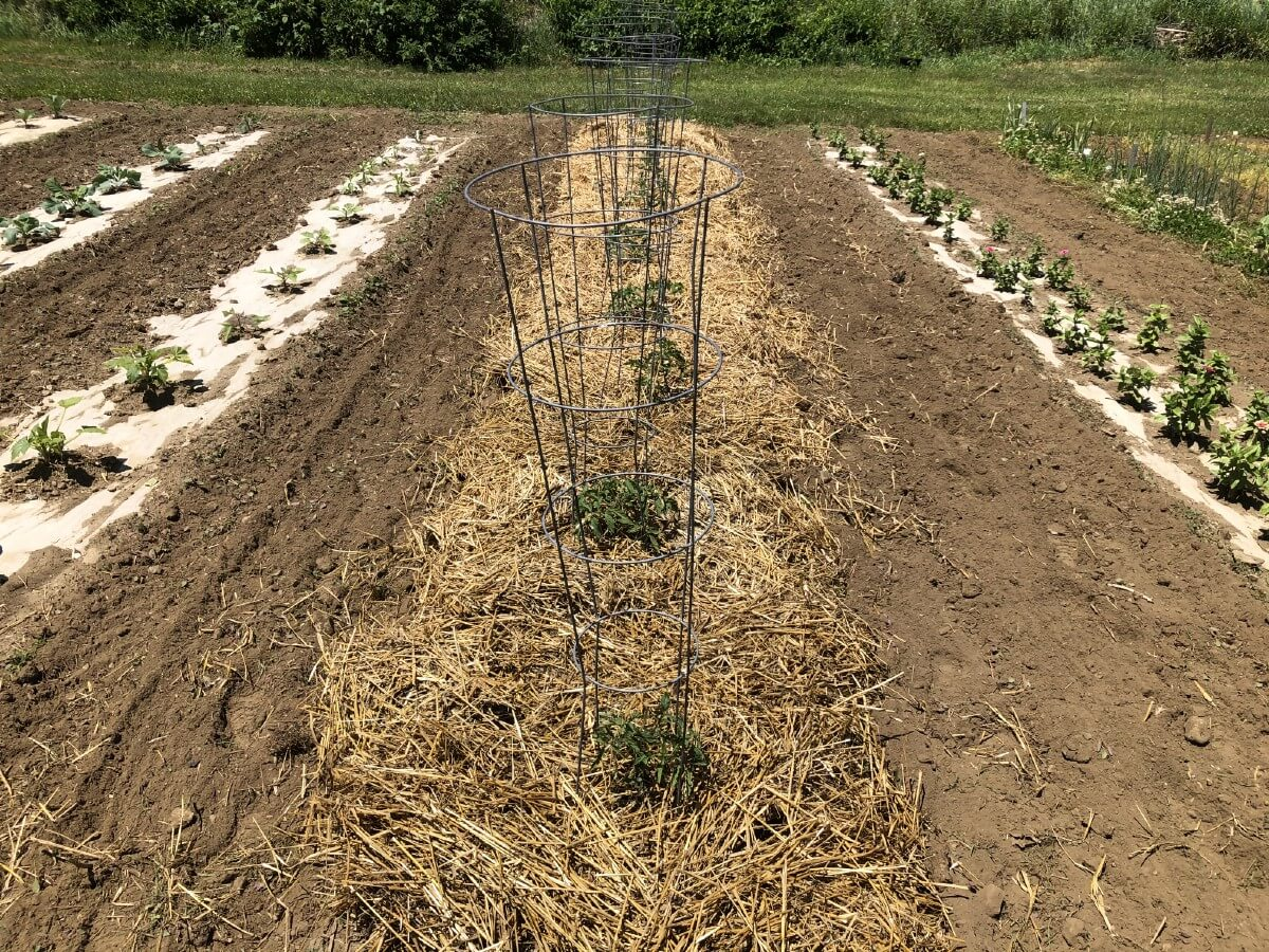 Tomatoes in garden in tomato cage with straw