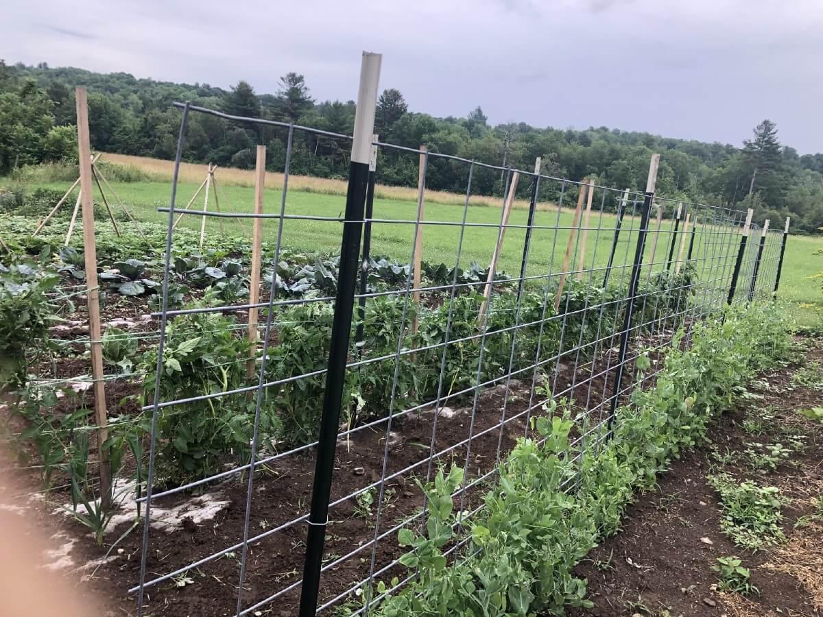 Livestock panel garden fence trellis