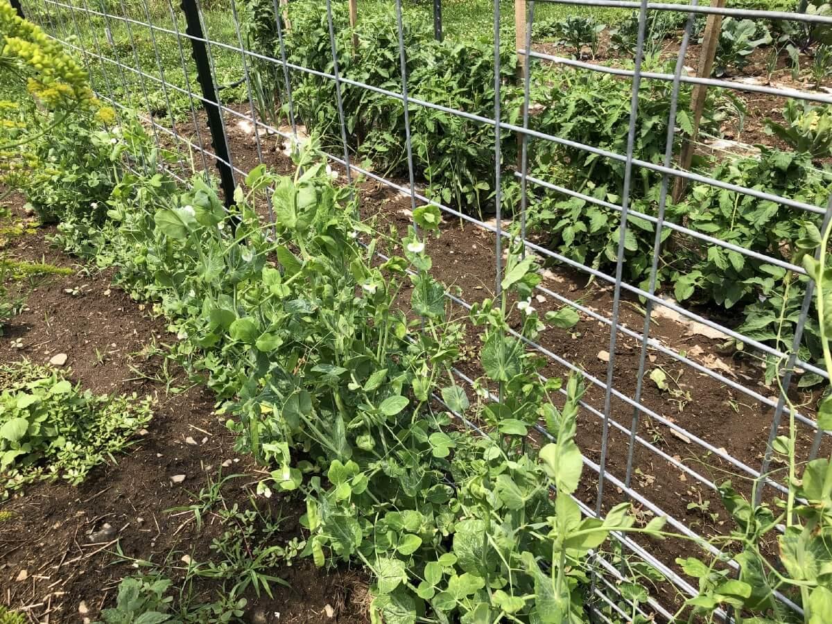 Peas climbing on fence