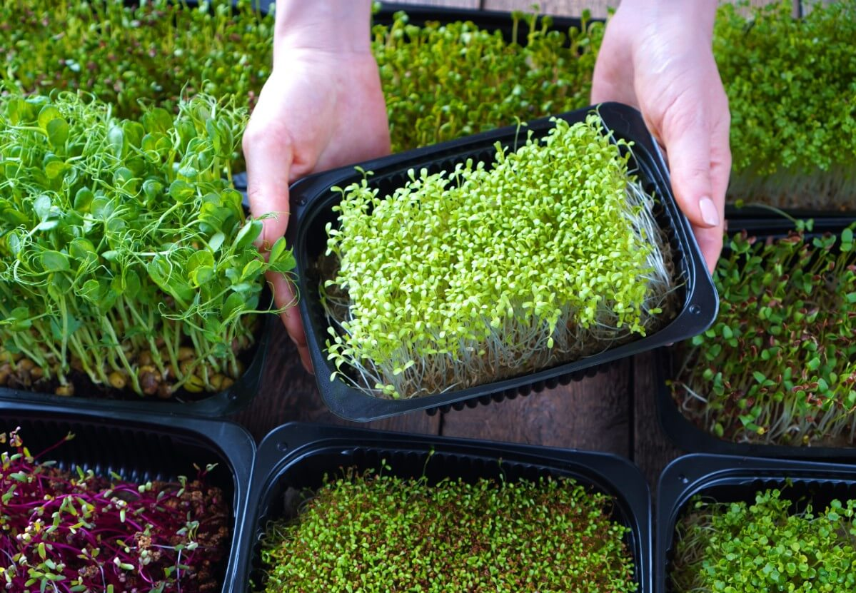 Hands holding tray full of microgreens.