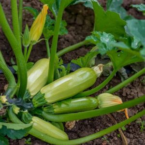 Zucchini plant growing fresh zucchinis in the garden.