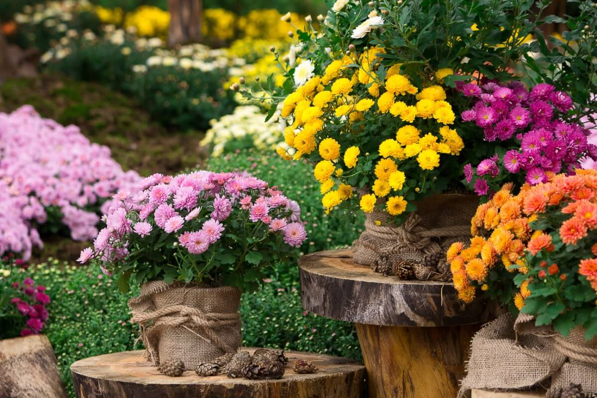 display of mums in containers