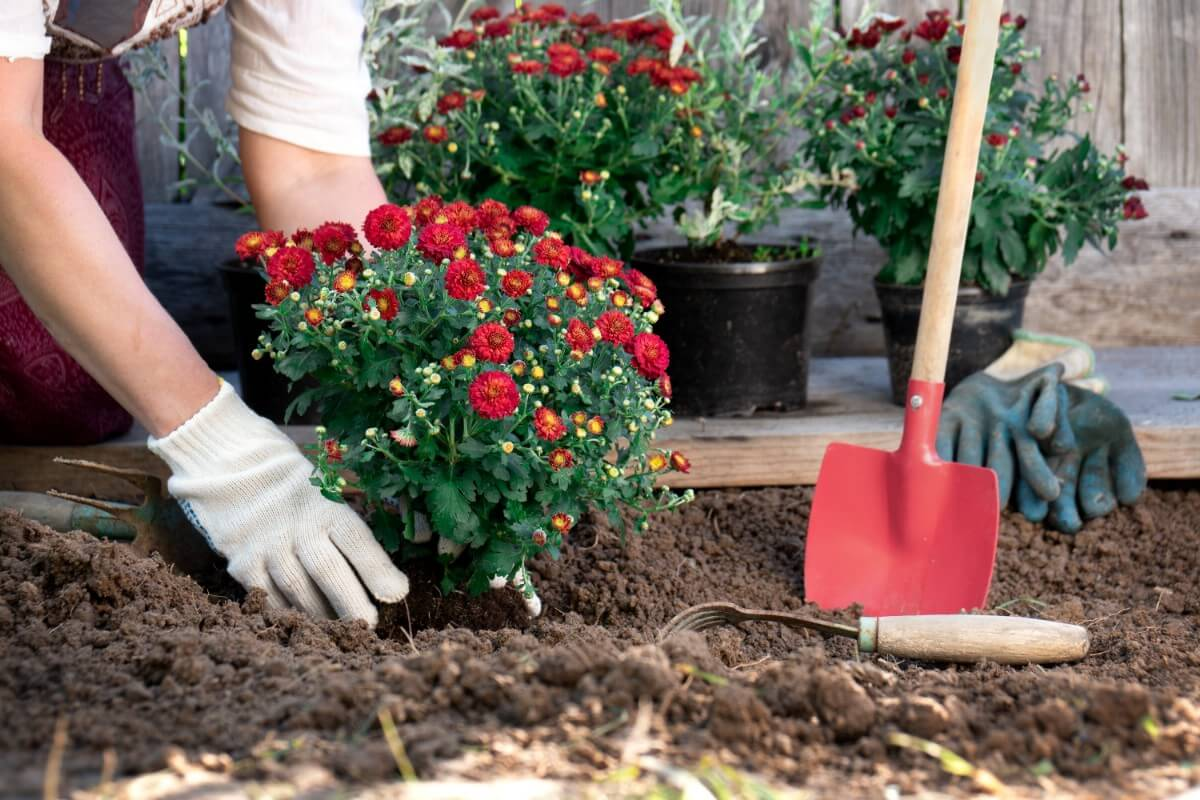 red mums being planted in the ground by red shovel